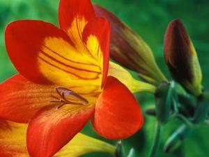 Freesia (Figaro), Close-up of Orange and Yellow Flowers by Chris Burrows
