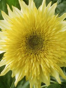 """Helianthus Annuus, """"Starburst Lemon Aura,"""" September by Chris Burrows"""