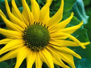Helianthus Debilis Subsp. Cucumerifolius (Stella) (Sun Flower), Yellow Flower Head by Chris Burrows