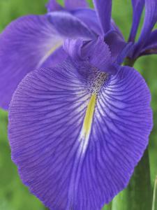 Iris Latifolia by Chris Burrows
