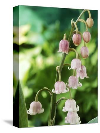 Lily-Of-The-Valley