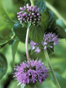 Mentha Pulegium Pennyroyal (Mint) by Chris Burrows