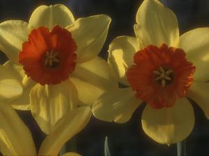 "Narcissus ""Ambergate"" Div 2 Large-Cupped Two Flower Heads Side Lit View by Chris Burrows"