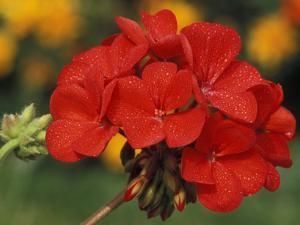 Pelargonium (Patio Scarlet) by Chris Burrows
