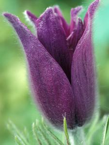 Pulsatilla Halleri Agm, Close-up of Purple Flower by Chris Burrows