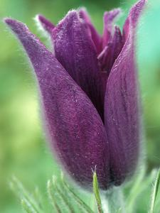 Pulsatilla Halleri Agm, Close-up of Purple Flower by Chris Burrows