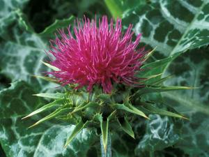 Silybum Marianum by Chris Burrows