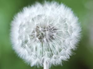 Taraxacum Officinale (Dandelion), Close-up of Seed Head by Chris Burrows