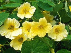 "Tropaeolum Majus ""Moonlight"" (Nasturtium) by Chris Burrows"