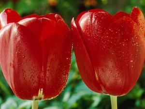 "Tulipa ""Prominence"" with Dew Drops by Chris Burrows"