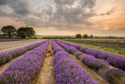 Alton Lavender Farm, Hampshire, Uk