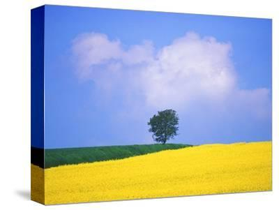 Canola Crop with Lone Tree, Blue Sky and Cumulus Clouds in South of France