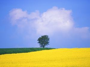Canola Crop with Lone Tree, Blue Sky and Cumulus Clouds in South of France by Chris Cheadle