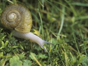 Snail in Grass, British Columbia, Canada. by Chris Cheadle