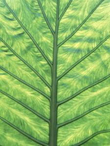 Yellow Skunk Cabbage (Lysichitum Americanum) Leaf Pattern, British Columbia, Canada. by Chris Cheadle