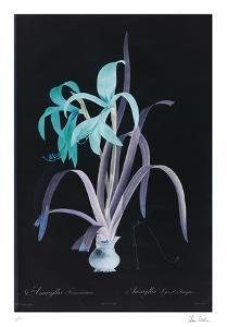 Lucent - Amaryllis by Chris Dunker