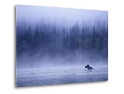 Moose Swimming in Bowron Lake Provincial Park, British Columbia, Canada.