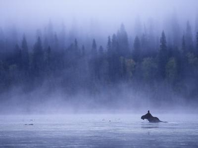 Moose Swimming in Bowron Lake Provincial Park, British Columbia, Canada. by Chris Harris