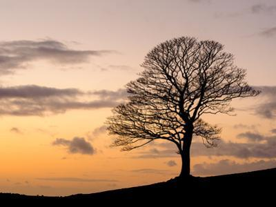 Bare Winter Tree at Sunset, the Roaches, Staffordshire, Peak District National Park, England, Unite