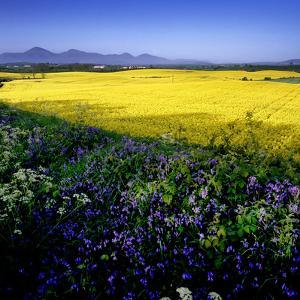 A Rape Field and Bluebells in County Down, Northern Ireland by Chris Hill