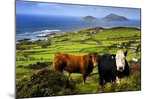 Cattle in County Kerry, Ireland by Chris Hill