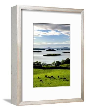 Herd of Cattle Grazing in Green Fields at Lough Corrib in Ireland's County Galway