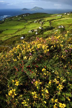 Wildflowers and Green Fields Along Darrynane Bay, Ring of Kerry, Ireland