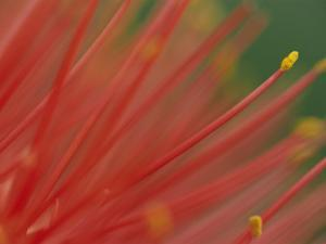 A Close View of a Fireball Lily Flower by Chris Johns