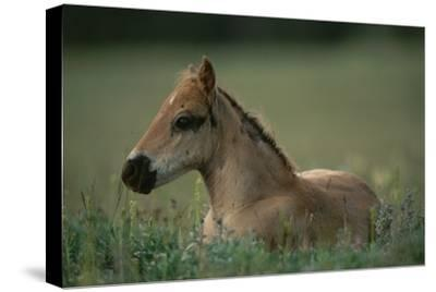 A Close View of a Wild Colt Lying in a Field.