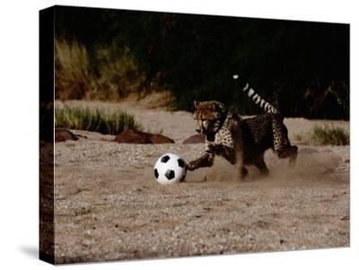 A Domesticated African Cheetah Shows its Natural Speed While Playing with a Soccer Ball by Chris Johns