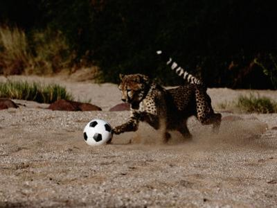 A Domesticated African Cheetah Shows its Natural Speed While Playing with a Soccer Ball