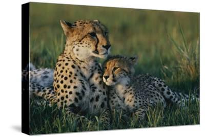 A Female African Cheetah (Acinonyx Jubatus Jubatus) and Her Cub