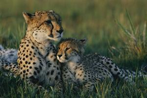 A Female African Cheetah (Acinonyx Jubatus Jubatus) and Her Cub by Chris Johns