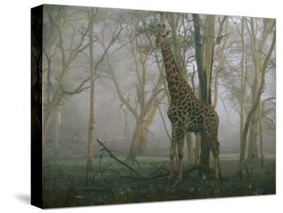 A Giraffe Stands in the Early Morning Mist