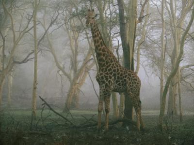 A Giraffe Stands in the Early Morning Mist by Chris Johns