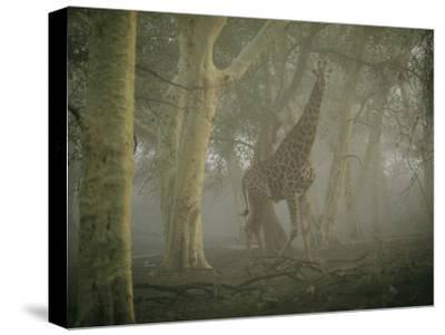 A Giraffe Walking in a Misty Forest in the Ndumu Game Reserve