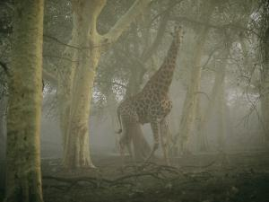 A Giraffe Walking in a Misty Forest in the Ndumu Game Reserve by Chris Johns