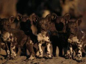 A Litter of African Wild Dogs by Chris Johns