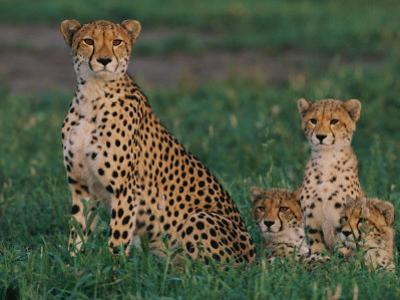 A Portrait of a Female African Cheetah and Her Three Cubs by Chris Johns