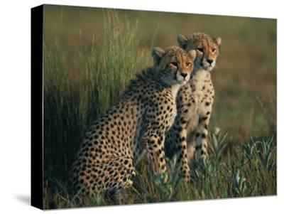 A Portrait of a Pair of Juvenile African Cheetahs