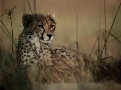 A Portrait of an African Cheetah Resting in the Tall Grass by Chris Johns