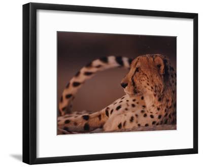 A Portrait of an African Cheetah Resting