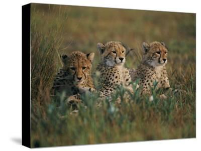 A Portrait of Three African Cheetahs Resting in the Grass