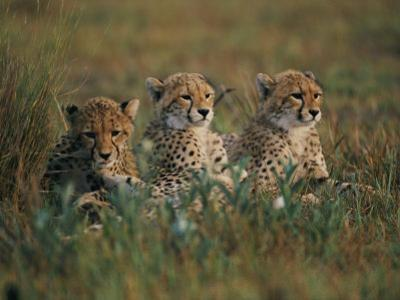 A Portrait of Three African Cheetahs Resting in the Grass by Chris Johns