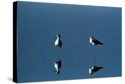 A View of a Pair of Black-Winged Stilts (Himantopus Himantopus)