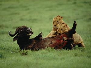 A Wounded Cape Buffalo Falls Prey to a Pair of Young Lions by Chris Johns