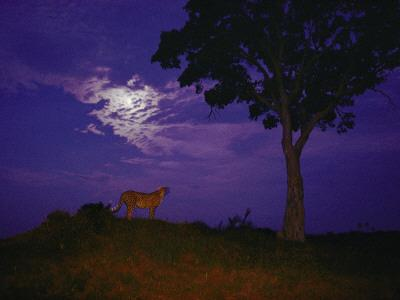 A Young Cheetah Prowls by Moonlight in the Okavango Delta