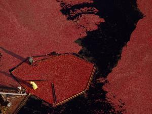 Aerial View of the Harvesting of a Cranberry Bog by Chris Johns