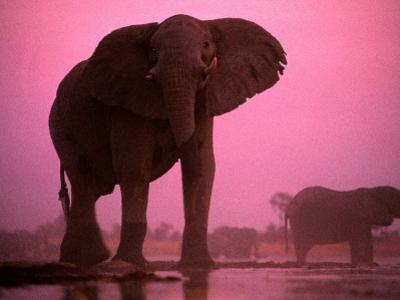 African elephants (Loxodonta africana) by Chris Johns