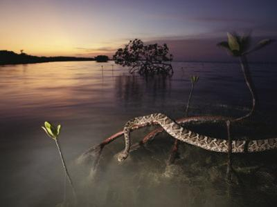 An Eastern Diamondback Rattlesnake Rests on a Mangrove Tree by Chris Johns